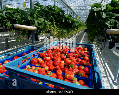 Picked strawberries in blue plastic crates in large greenhouse with strawberry plants in the background Brabant - Stock Photo