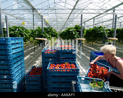 Woman stacking blue plastic crates with strawberries in large greenhouse with strawberry plants in the background - Stock Photo