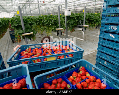 Picked strawberries in blue plastic crates in large greenhouse with strawberry plants in the background NL - Stock Photo