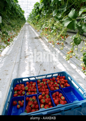Picked strawberries in blue plastic crate in large greenhouse with suspended strawberry plants in the background - Stock Photo