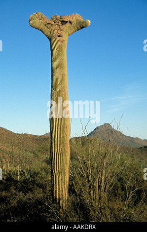 Crested or Cristate Saguaro Cactus Carnegiea gigantea Saguaro National Park Arizona - Stock Photo