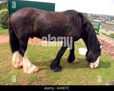 Shire Horse grazing on short grass, Grand Western Canal, Tiverton, Devon, England, English,  Great, Britain, British, - Stock Photo