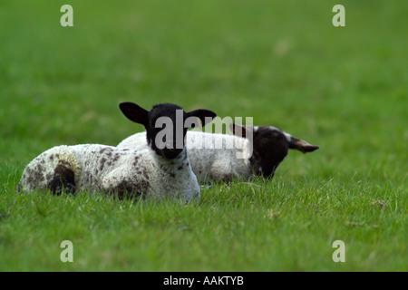 two newborn lambs in field - Stock Photo