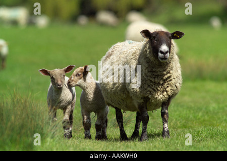 two newborn lambs in field with mother sheep - Stock Photo
