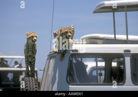Two half grown cheetah sitting on the spare wheel and roof of a tourist vehicle Serengeti National Park - Stock Photo