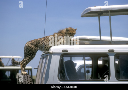Half grown cheetah standing on spare wheel of a tourist vehicle and looking down into the cabin Serengeti National - Stock Photo