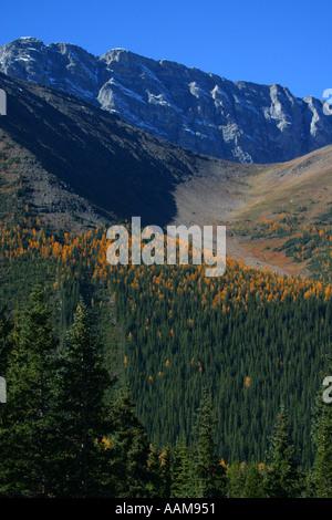 Larches in autumn - Stock Photo