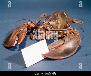 LOBSTER HOLDING BLANK BUSINESS CARD IN CLAW - Stock Photo