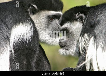 Two guerezas (colobus guereza) sitting face to face - Stock Photo