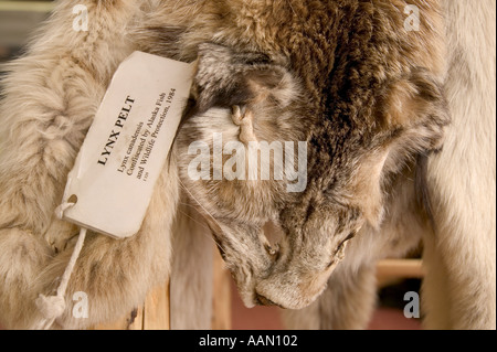 Illegally caught Lynx skin Denali National Park - Stock Photo
