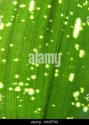 cast iron plant (Aspidistra elatior 'Milky Way', Aspidistra elatior Milky Way), leaf in shining through light - Stock Photo