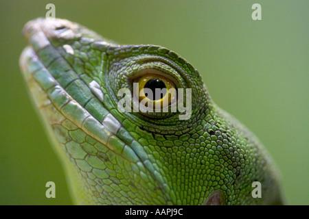 Basilisk (Captive) - Stock Photo