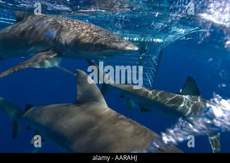 Thrill seekers experience cage diving with Galapagos sharks Carcharhinus galapagensis North shore Oahu Hawaii USA - Stock Photo