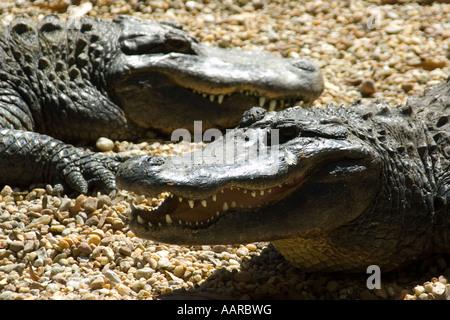 American alligator Alligator mississippiensis Homosassa Springs Wildlife State Park Florida USA - Stock Photo