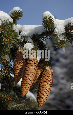 Pine / fir tree cones hanging from a snow-covered fir tree branch in winter - Stock Photo