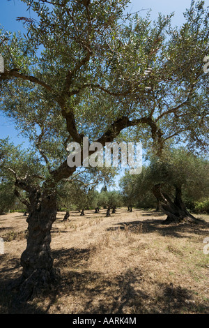 Olive Trees, Zakynthos, Ionian Islands, Greece - Stock Photo