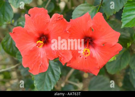 Hibiscus flower Koko Crater Botanical Garden Honolulu Oahu Hawaii - Stock Photo
