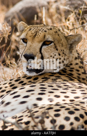 Cheetah Acinonyx jubatus portrait resting in shade Kenya - Stock Photo