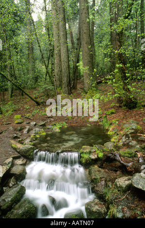 Fern Spring and pine forest Yosemite National Park California USA - Stock Photo
