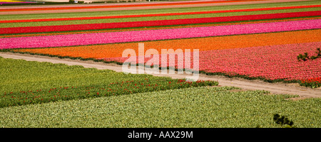 Slim horizontal format images of colorful tulips and colorful flowers in outdoor spring gardens in Holland Europe. - Stock Photo