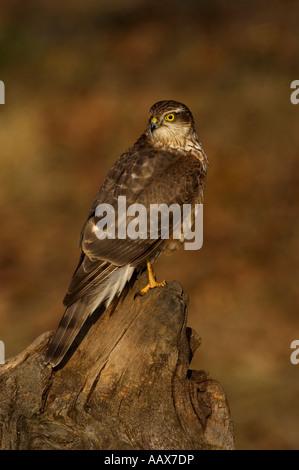 Sperber Männchen Accipiter nisus Northern Sparrow Hawk male Ostalbkreis Baden Wuerttemberg Deutschland - Stock Photo