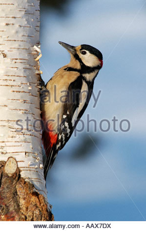 Grosser Buntspecht Dendrocopos major Männchen Great Spotted Woodpecker male - Stock Photo
