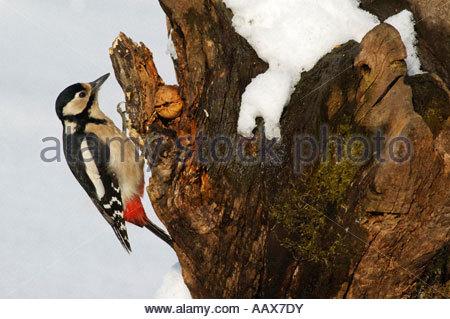 adult animals aufmerksam aussen Baden Wuerttemberg birds Birkenstamm branch Dendrocopos major Deutschland Ernaehrung - Stock Photo