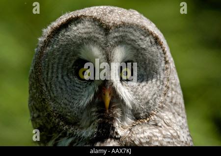 Bartkauz Strix nebulosa Great Grey Owl Portrait - Stock Photo