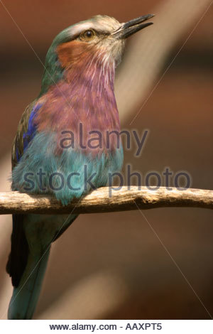 Lilac Breasted Roller Lilac Throated Roller Coracias Caudata - Stock Photo