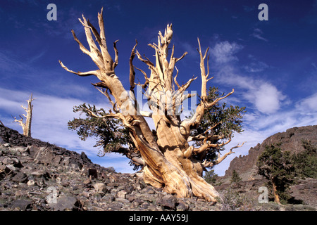 ancient Bristlecone Pine Trees worlds oldest trees in the high altitude of the White Mountains in California horizontal - Stock Photo