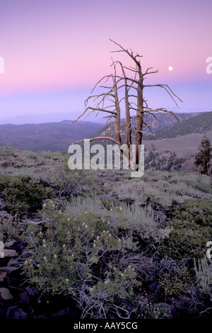 ancient bristlecone pine tree in the White Mountains of California shown at dusk with full moon rising vertical - Stock Photo