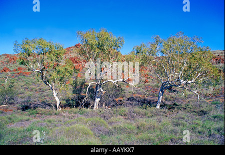 Three Silver Gum Trees, Western Australia. - Stock Photo