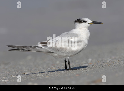 Sandwich Tern on the beach at Fort DeSoto Park, Tierra Verde, Florida - Stock Photo