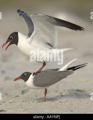 Laughing Gulls mating on beach Anastasia State Park St Augustine Florida - Stock Photo