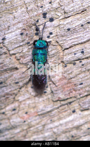 Ruby-tailed Wasp, Chrysis sp. On timber. Top view - Stock Photo