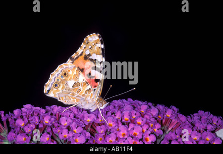 Painted Lady Butterfly, Cynthia cardui. Collecting nectar on flower - Stock Photo