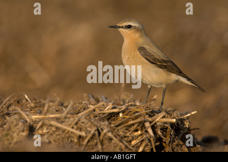 Northern wheatear Oenanthe oenanthe spring female on farm midden heap Hertfordshire England April - Stock Photo