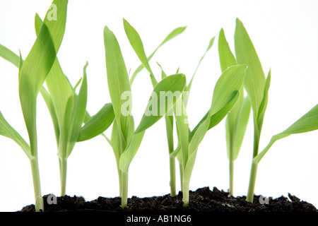 Corn Seedlings grown in Laboratory - Stock Photo