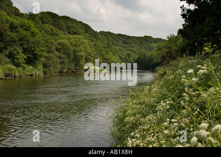 The River Teifi near Cilgerran Pembrokeshire west wales; summer afternoon, ancient deciduous woodland on the far - Stock Photo