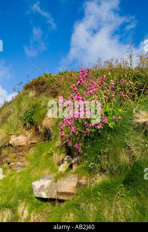 dh Red Campion PINKS UK Silene dioica growing on seashore cliff bank Scapa Flow Orkney - Stock Photo