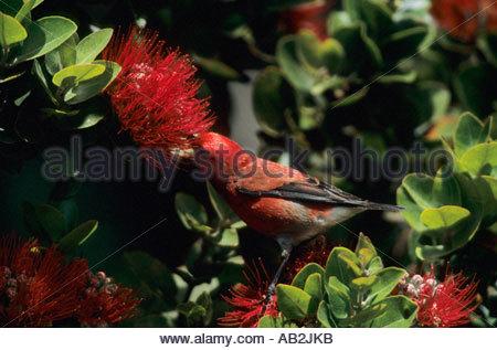 Apapane on Ohio Flower Himatione sanguinea Big Island Hawaii - Stock Photo