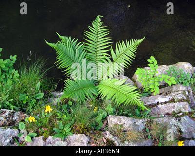 Fern growing out of rocks Afon Pyrddin river on waterfall walk near Pontneddfechan South Wales UK GB EU - Stock Photo