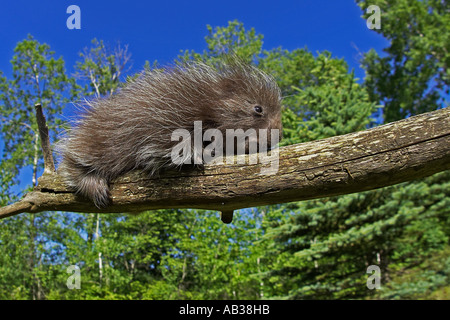 Common Porcupine Erethizon dorsatum Pine County Minnesota USA - Stock Photo