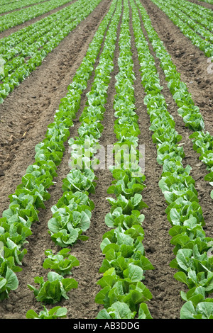 Lettuce 'Romaine' , young plants growing, California - Stock Photo