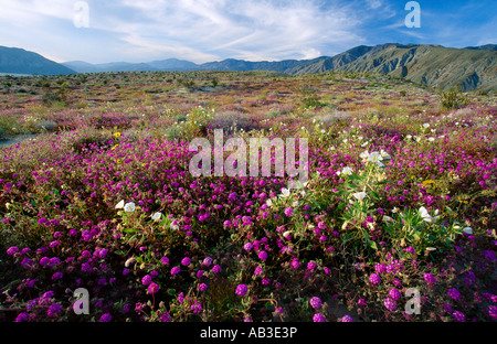 Desert Flower Bloom Truckhaven Trail Anza Borrego Desert State Park Borrego Springs San Diego County California - Stock Photo