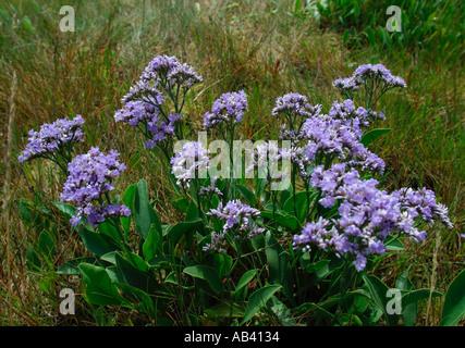 Limonium Latifolium.  Sea lavender plant flowering in coastal habitat - Stock Photo