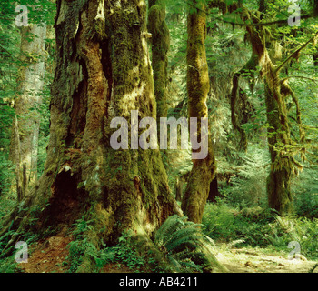 Olympic National Park in Washington showing moss covered trees and greenery - Stock Photo