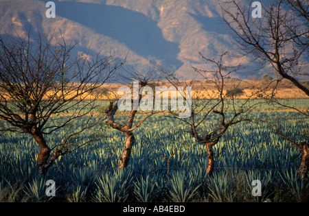 Tequila production in Mexico Fields of blue agave cactus near the town of Tequila Jalisco Mexico  - Stock Photo