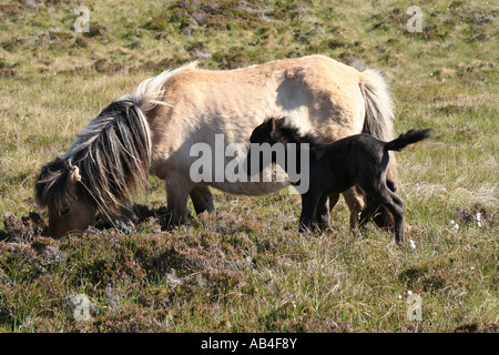 Eriskay pony and foal  Loch Druidibeg Nature reserve South Uist Outer Hebrides Scotland June 2007 - Stock Photo