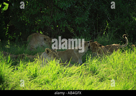 Lioness tending her cubs in the shade of a tree Kenya Africa - Stock Photo